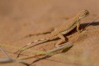 Phrynocephalus interscapularis, Novbur