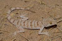 Tenuidactylus cf. bogdanovi, Tupkira