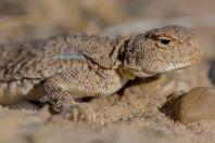 Phrynocephalus raddei, Tupkira