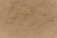 Tracks of Varanus griseus, Dzharkurgan
