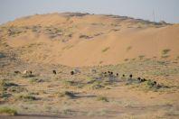 Grazing in the desert, Dzharkurgan