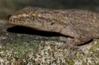 Hemidactylus frenatus, NP Cuc Phuong