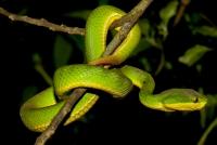 Trimeresurus albolabris, NP Cuc Phuong
