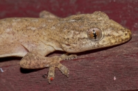 Hemidactylus frenatus, Son Trach
