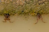 Microhyla marmorata, NP Phong Nha-Ke Bang