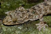 Gekko palmatus, NP Phong Nha-Ke Bang