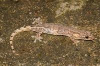 Hemiphyllodactylus sp., Bach Ma NP