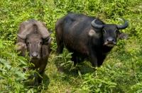 Buffalo, Bach Ma