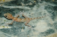 Ptyodactylus hasselquistii, Hurghada