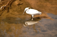 Egretta garzetta, Philae