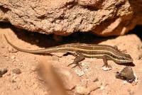 Trachylepis quinquetaeniata, Luxor