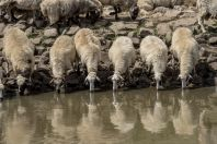 Herd at waterhole, Lunxhëri
