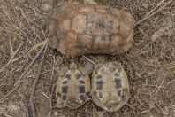 Testudo marginata and T. hermanni, Vagalat