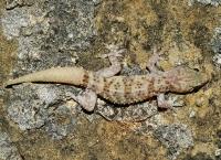 Hemidactylus turcicus, Ardenica