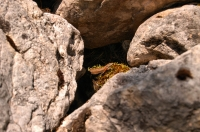 Algyroides nigropunctatus, NP Llogarë, Cikës Mts.