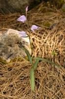 Cephalanthera sp., NP Llogarë, Cikës