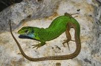 Lacerta viridis, NP Llogarë, Cikës