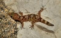 Hemidactylus turcicus, Himarë