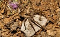 Spider, Himarë