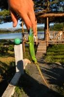 Lacerta viridis, Shelegurë