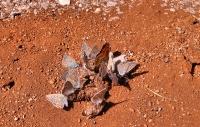Butterflies, Galičica