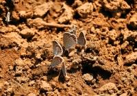 Butterflies, Deliblatska peščara