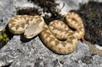 Vipera ammodytes, NP Domogled Valea Cernei