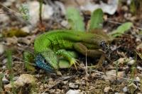 Lacerta viridis, Pirin