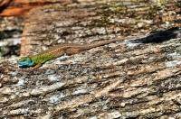 Lacerta viridis, Sarpdere