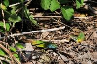 Lacerta viridis, Thermes