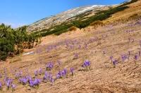 Šafrán karpatský (Crocus heuffelianus) v NP Nízké Tatry