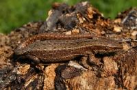 Gravidní samice Zootoca vivipara