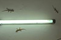 Hemidactylus flaviviridis, New Delhi