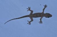 Hemidactylus flaviviridis, Rišikeš