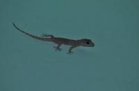 Gecko near Mandi  (H. brookii)