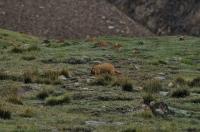 Marmota caudata