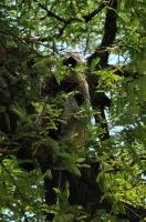 Semnopithecus entellus, Agra