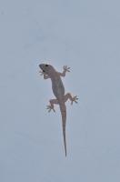 Hemidactylus flaviviridis, Bharatpur