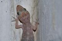 Hemidactylus brookii, Bharatpur