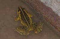 Hoplobatrachus cf. tigerinus, Bharatpur