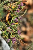 Daphne arbuscula, NP Muránská planina