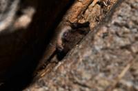 Netopýr ve Wesselenyiho jeskyni