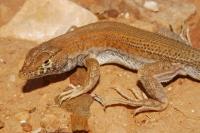 Acanthodactylus cf. scuttulatus, Tan-Tan