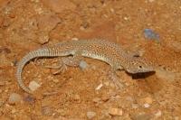 Acanthodactylus boskianus, El Quatia