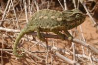 Chameleon, Ben Khil