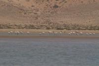 Flamingos in Cap Draa