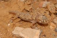 Stenodactylus sthenodactylus, Bouarfa