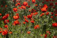 Poppies, Hisor