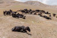 Goats in the desert, near Sambuli