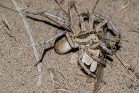 Spider, Teshiktosh